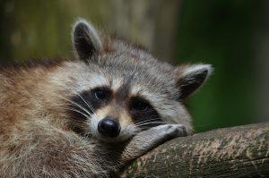 raccoon-365366_1920